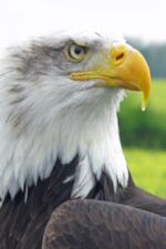 Photo of Eagle, by Harry Griswold