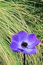 Photo of Anemone in Backyard, by Harry Griswold