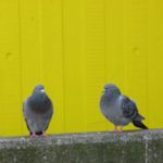 Photo of Pigeons, by Harry Griswold