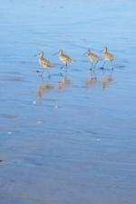 Photo of Shorebirds on the Beach at Del Mar, by Harry Griswold