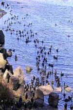 Photo of Waterbirds at Mission Bay, by Harry Griswold